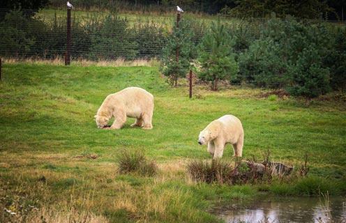 Yorkshire Wildlife Park Polar Bear